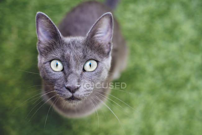 Russisch Blau Katze auf Rasen sitzen und nachschlagen — Stockfoto