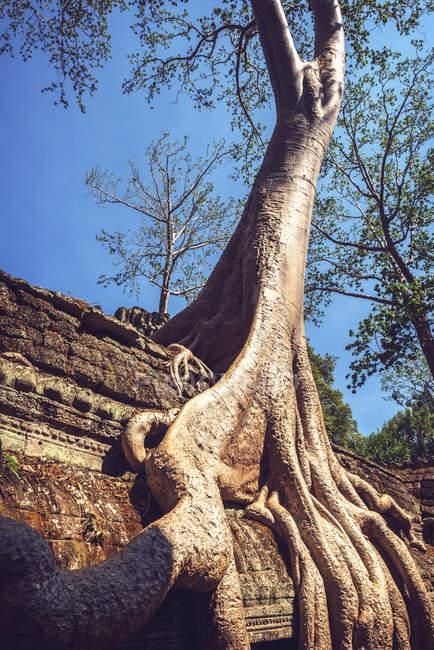 Камбоджа, Ангкор Том, дерево начинает захватывать руины — стоковое фото