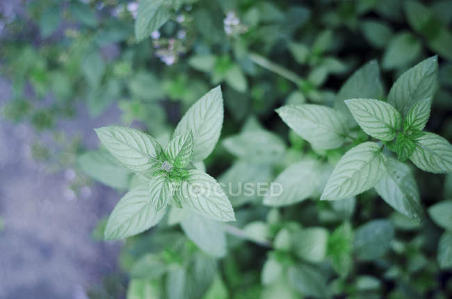 Close-up of Peppermint plants growing in garden — Stock Photo