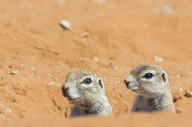 Ботсвана Калахарі, Кгалагаді прикордонний парк, два африканських ховрахів приховування — стокове фото