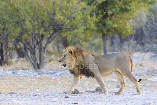 Vistas de León que camina en hábitat natural al Parque Nacional de Etosha, Namibia - foto de stock