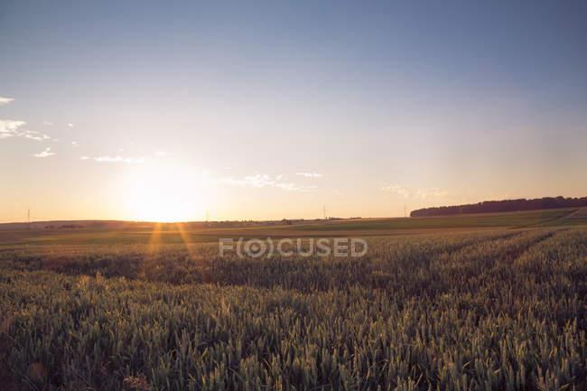 Campo di frumento contro il sole di grano — Foto stock
