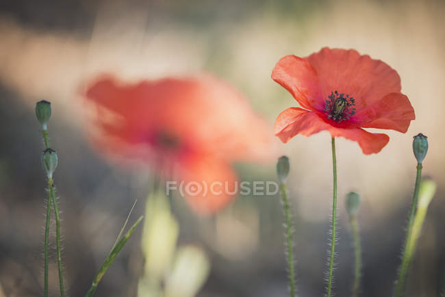 Blooming poppy flowers — Stock Photo