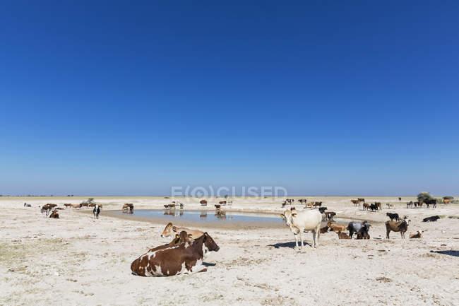 Rebanho de Botswana, Kalahari, de gado, no poço de água — Fotografia de Stock