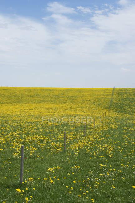 Germany, Bavaria, Allgaeu, meadow of blossoming dandelions — Stock Photo
