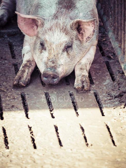Alemania, cerdo doméstico descansando - foto de stock