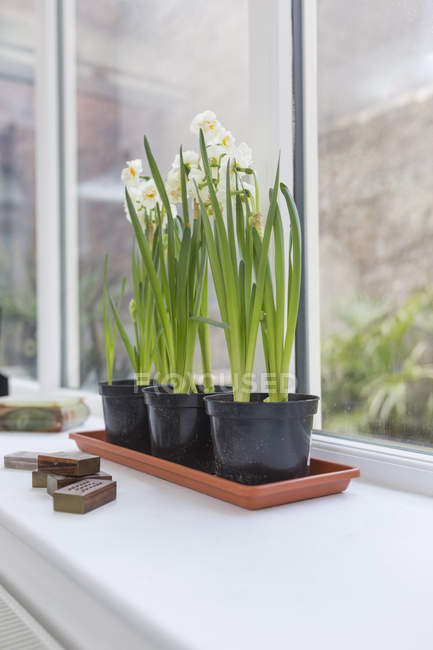Potted daffodils on window sill in a living room — Stock Photo