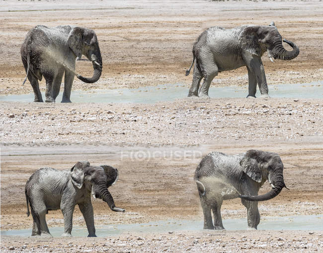 Composite image, african elephant, Loxodonta africana, on waterhole — Stock Photo