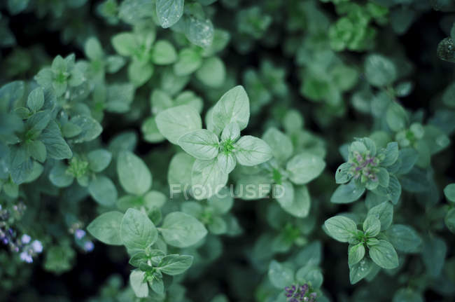 Close-up of Oregano plants growing in garden — Stock Photo