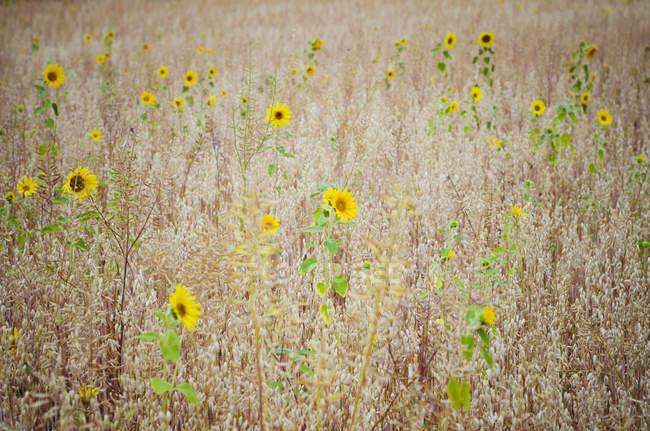Tournesols dans un champ de céréales — Photo de stock