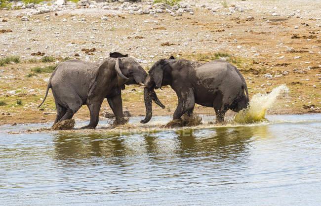 Luta de elefantes, Loxodonta africana, no poço de água — Fotografia de Stock