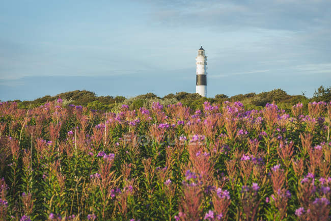 Blooming heath and Rotes Kliff lighthouse — Stock Photo
