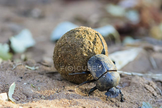 Mistkäfer, Scarabaeus Sacer, mit Kot ball — Stockfoto