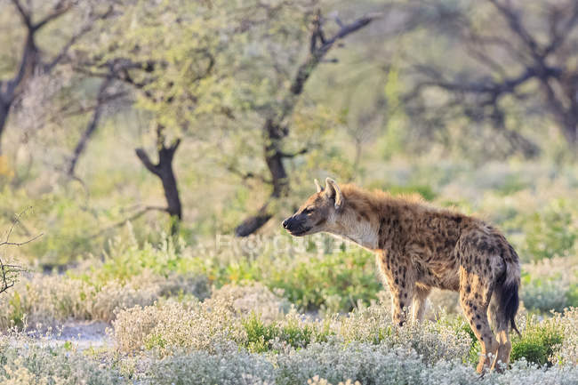 Namibia, Etosha National Park, spotted hyena standing in the wild — Stock Photo