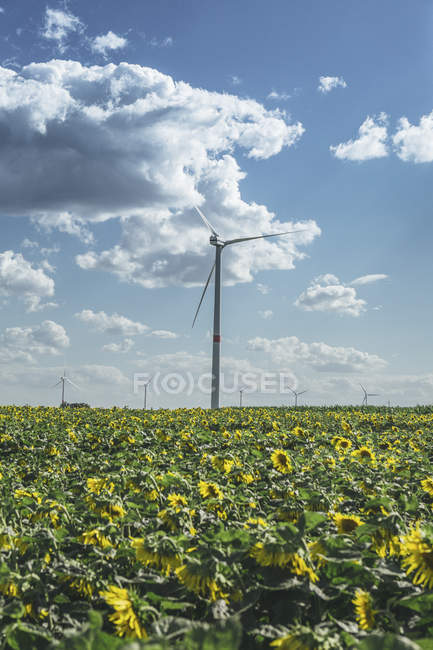 Sunflower field and wind farm view — Stock Photo