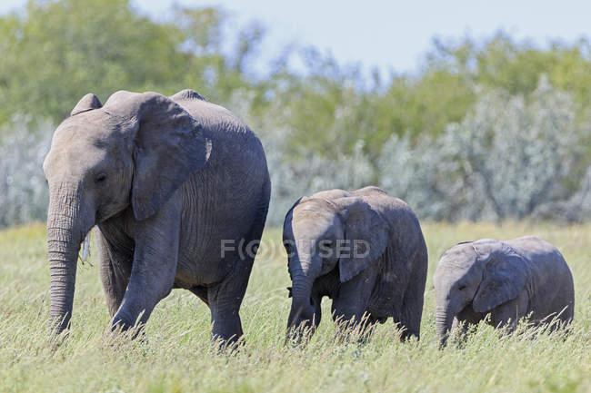 Namibia, etosha nationalpark, afrikanischer elefant und zwei elefantenbabys — Stockfoto