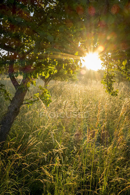 Germany, Bavaria, Chiemgau, meadow with grasses and tree in the morning light — Stock Photo