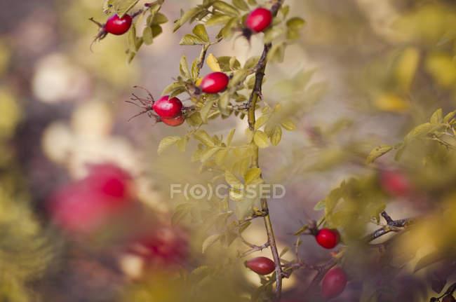 Nahaufnahme der Heckenrose Busch mit Früchte und Blätter tagsüber — Stockfoto