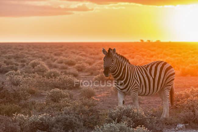 Cebra de los llanos por puesta del sol, Parque Nacional de Etosha, Namibia - foto de stock
