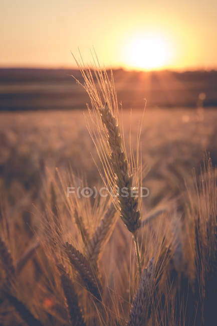 Barley field against the evening sun — Stock Photo