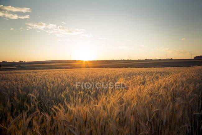 Champ d'orge contre le soleil du soir — Photo de stock