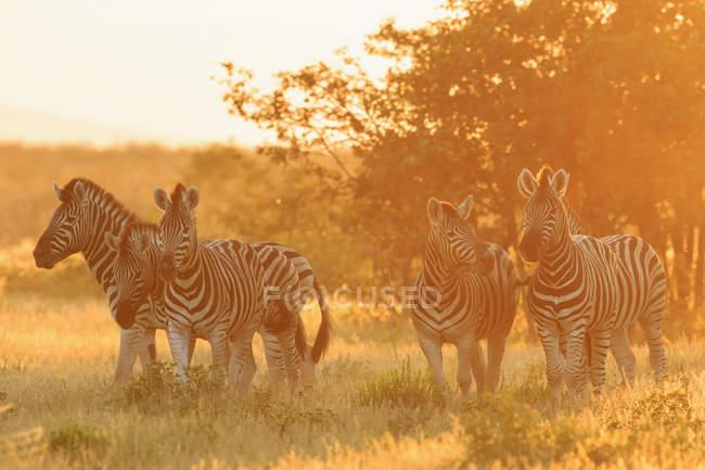 Cebras de llanuras del Parque Nacional de Etosha, Namibia por puesta del sol - foto de stock
