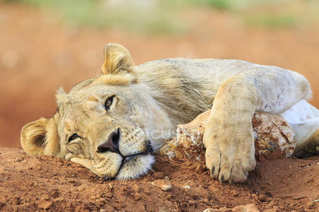 Closeup view of lying down lion muzzle — Stock Photo