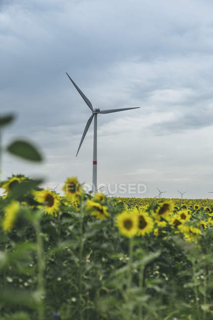 Масло подсолнечное поле и Ветер фермы под угрюмый небо — стоковое фото