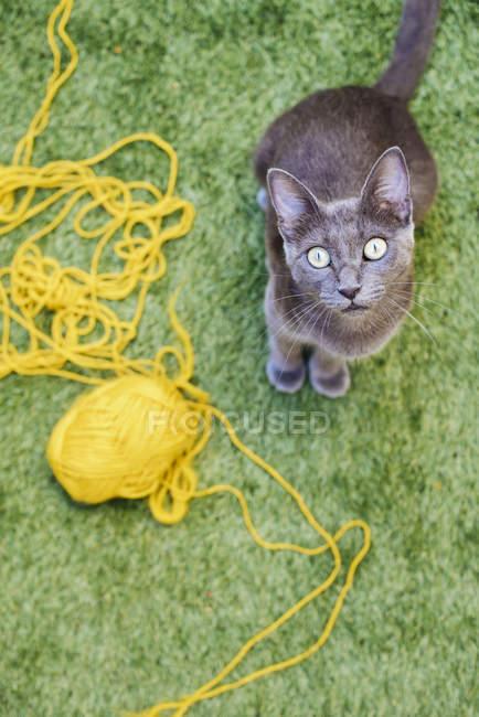 Russisch Blau Katze sitzt neben gelben Ball aus Wolle und nachschlagen — Stockfoto
