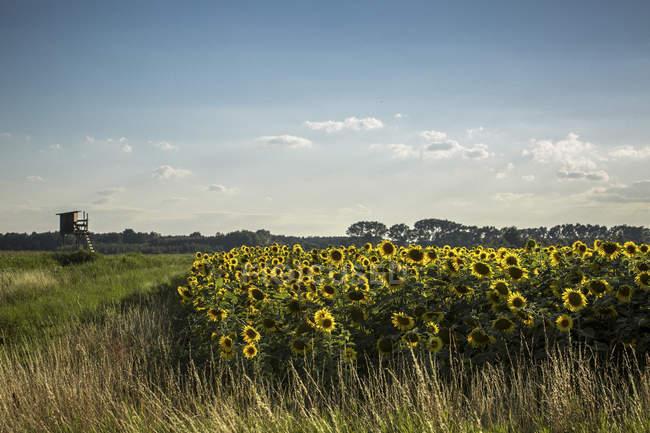 Олія соняшникова поле і підняли приховати — стокове фото