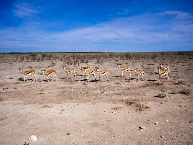 Namibia, Parco nazionale di Etosha, Okaukuejo, springboks durante il giorno — Foto stock