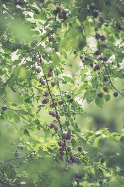 View of Twigs with mirabelles — Stock Photo