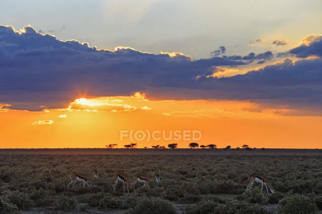 Namibie, parc national d'Etosha, tremplins au coucher du soleil et nuages dans le ciel — Photo de stock