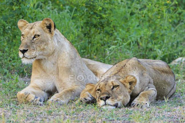 Parc National de Zimbabwe, Urungwe District, Mana Pools, deux lionnes fatiguées dans leur habitat naturel — Photo de stock