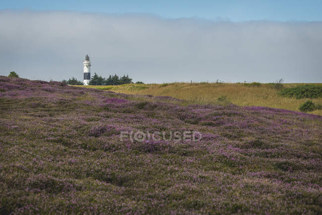 Blooming heath with lighthouse on background — Stock Photo