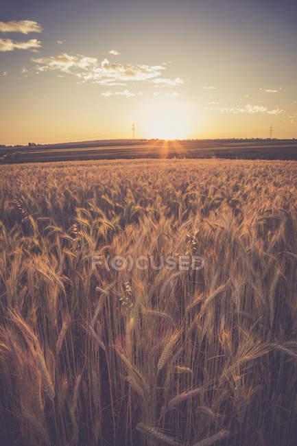 Campo di orzo contro il sole della sera — Foto stock