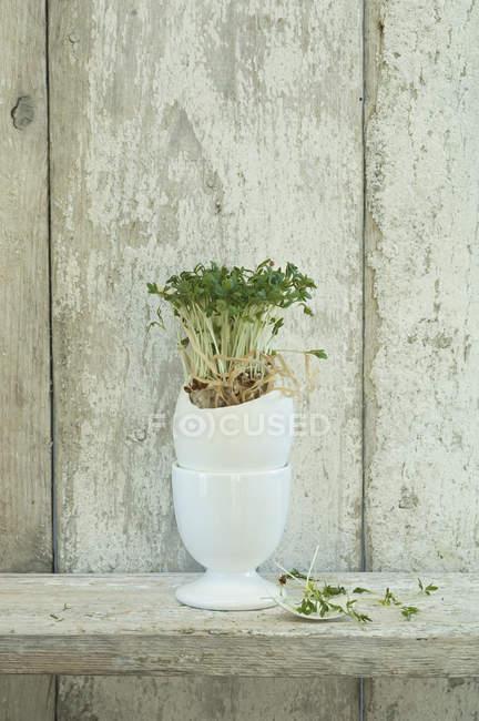 Кресса, растущая в скорлупе — стоковое фото