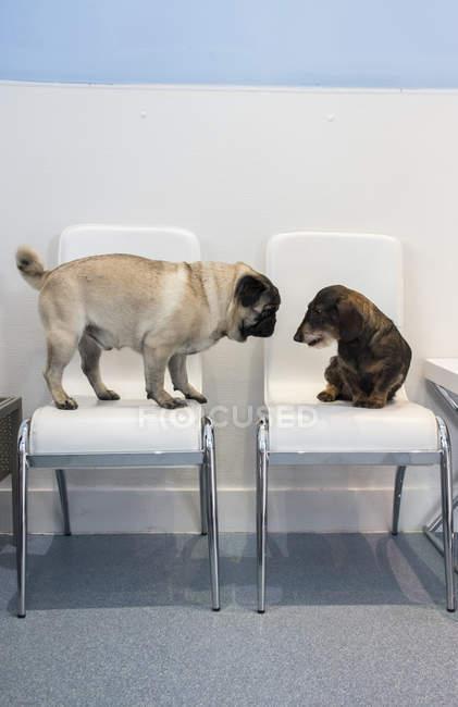 Две собаки на стульях приемной ветеринарной клиники — стоковое фото