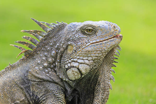 Daytime side view of Green iguana head — Stock Photo