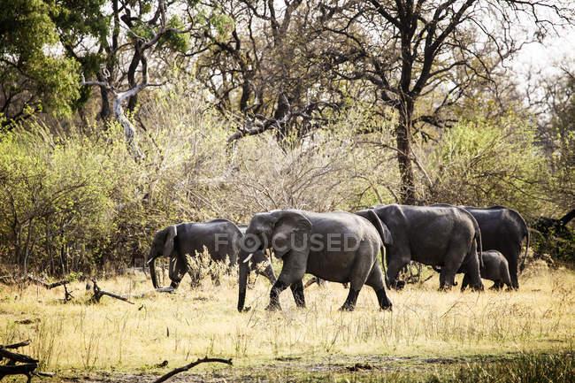 Botswana, delta de l'Okavango, éléphants marchant dans la savane pendant la journée — Photo de stock