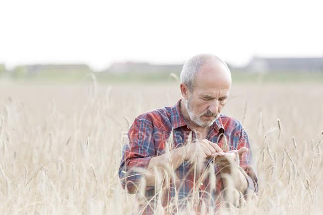 Landwirt Getreide im Bereich Prüfung — Stockfoto