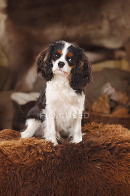 Cavalier King Charles Spaniel chiot assis sur peau de mouton — Photo de stock
