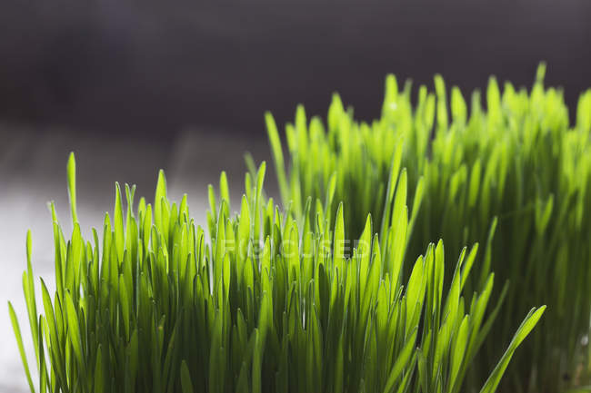 Close up view of fresh green cat grass — Stock Photo