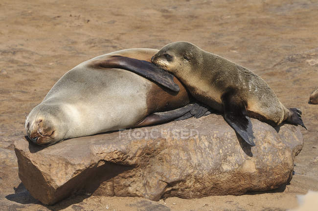 Namibia, deserto del Namib, due rilassanti foche mantello — Foto stock
