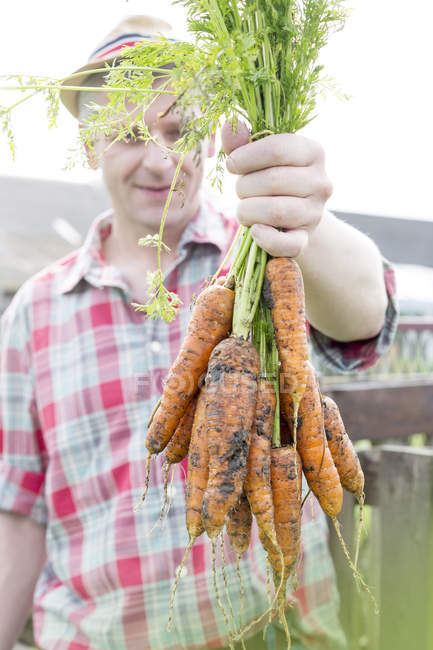 Farmer on organic farm holding bunch of carrots — Stock Photo