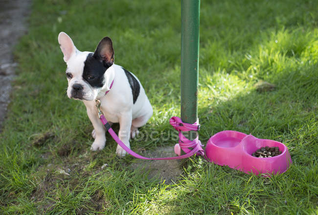 Chiot bouledogue français assis sur de l'herbe attachée au poteau — Photo de stock