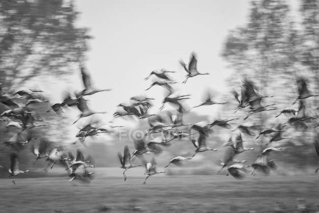 Schwarm fliegender Kraniche, Schwarz-Weiß-Bild — Stockfoto