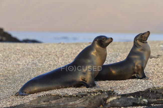 Vista diurna di due leoni marini sdraiati sulla spiaggia — Foto stock