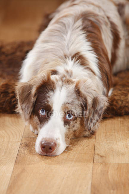 Miniature Australian Shepherd lying on sheepskin and looking at camera — Stock Photo
