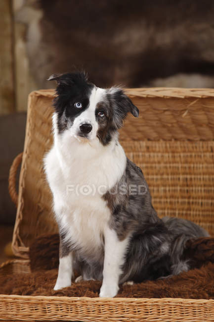 Miniature Australian Shepherd sitting in basket and looking at camera — Stock Photo